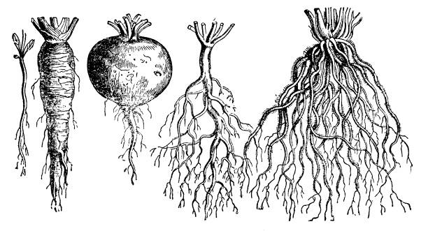 types of roots - root vegetable stock illustrations