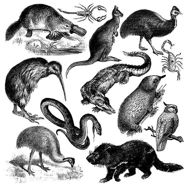 bildbanksillustrationer, clip art samt tecknat material och ikoner med typical australian animals | vintage wildlife animal illustrations - platypus