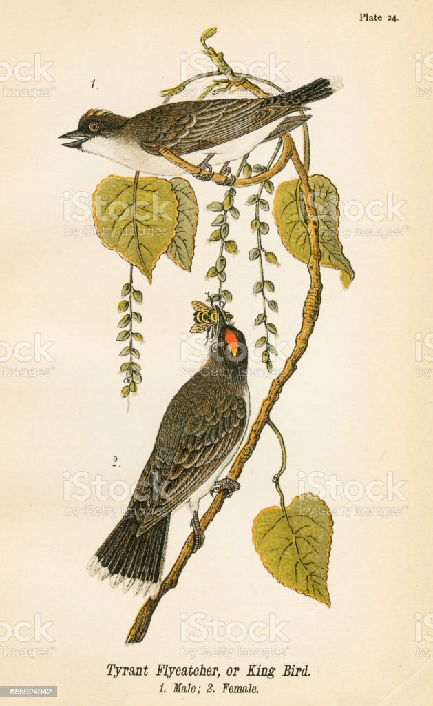 Tyrant flycatcher bird lithograph 1890 vector art illustration