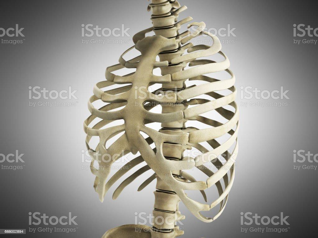 Uman Skeleton Ribs With Vertebral Column Anatomy Anterior View 3d ...