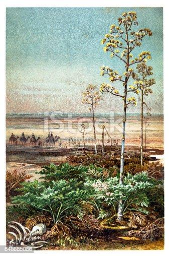 illustration of a Umbel plants ,umbellules, umbellets ,umbellate,  subumbellate