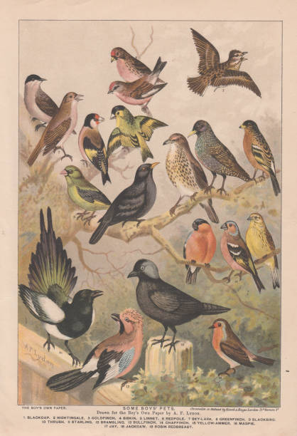Untouched 19th century  coloured plate engraving of various birds from the Boys Own Paper of 1892; Artist A F Lydon vector art illustration