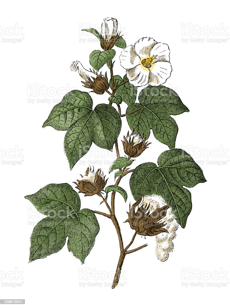 Upland cotton (antique botanical engraving) vector art illustration