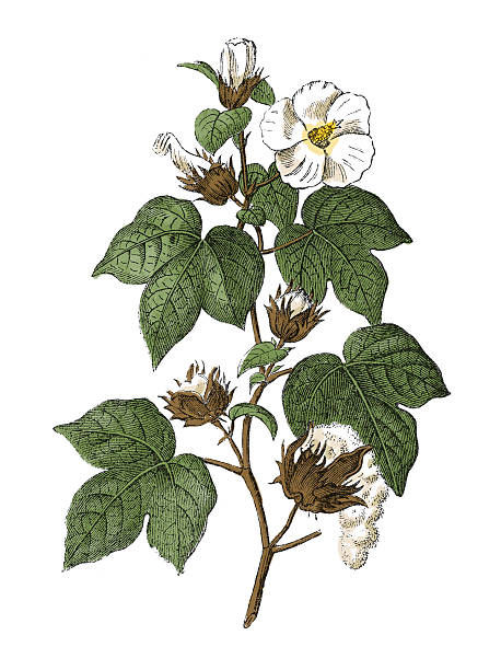 upland cotton (antique botanical engraving) - cotton stock illustrations, clip art, cartoons, & icons