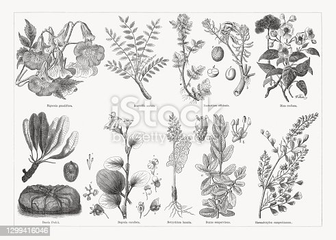 istock Useful and medicinal plants, wood engravings, published in 1893 1299416046