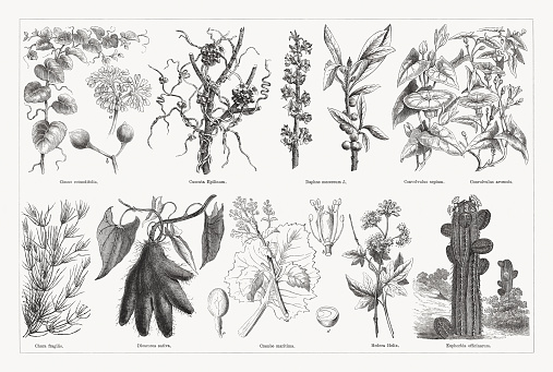 Useful and medicinal plants, wood engravings, published in 1893