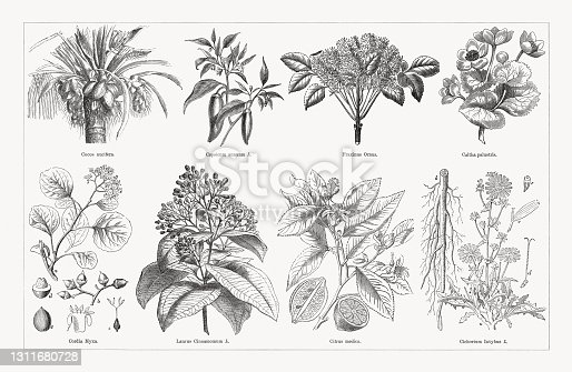 istock Useful and medicinal plants, wood engravings, published in 1893 1311680728