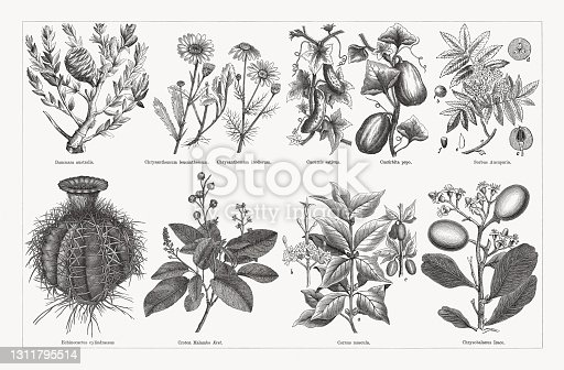 istock Useful and medicinal plants, wood engravings, published in 1893 1311795514