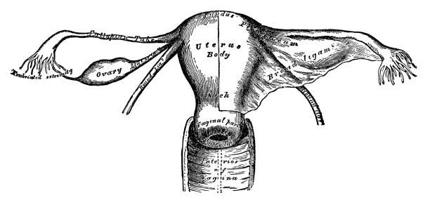 Uterus Uterus - Scanned 1892 Engraving fallopian tube stock illustrations