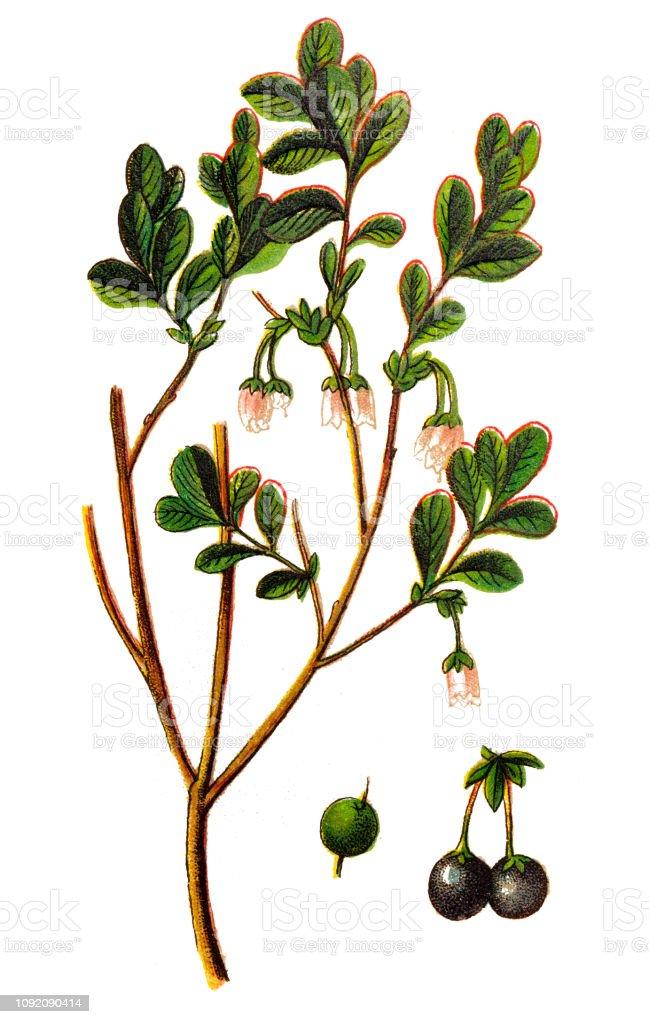 Vaccinium uliginosum (bog bilberry, bog blueberry,northern bilberry or western blueberry) vector art illustration