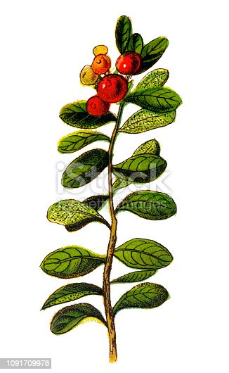 Illustration of a Vaccinium vitis-idaea (lingonberry, partridgeberry or cowberry)