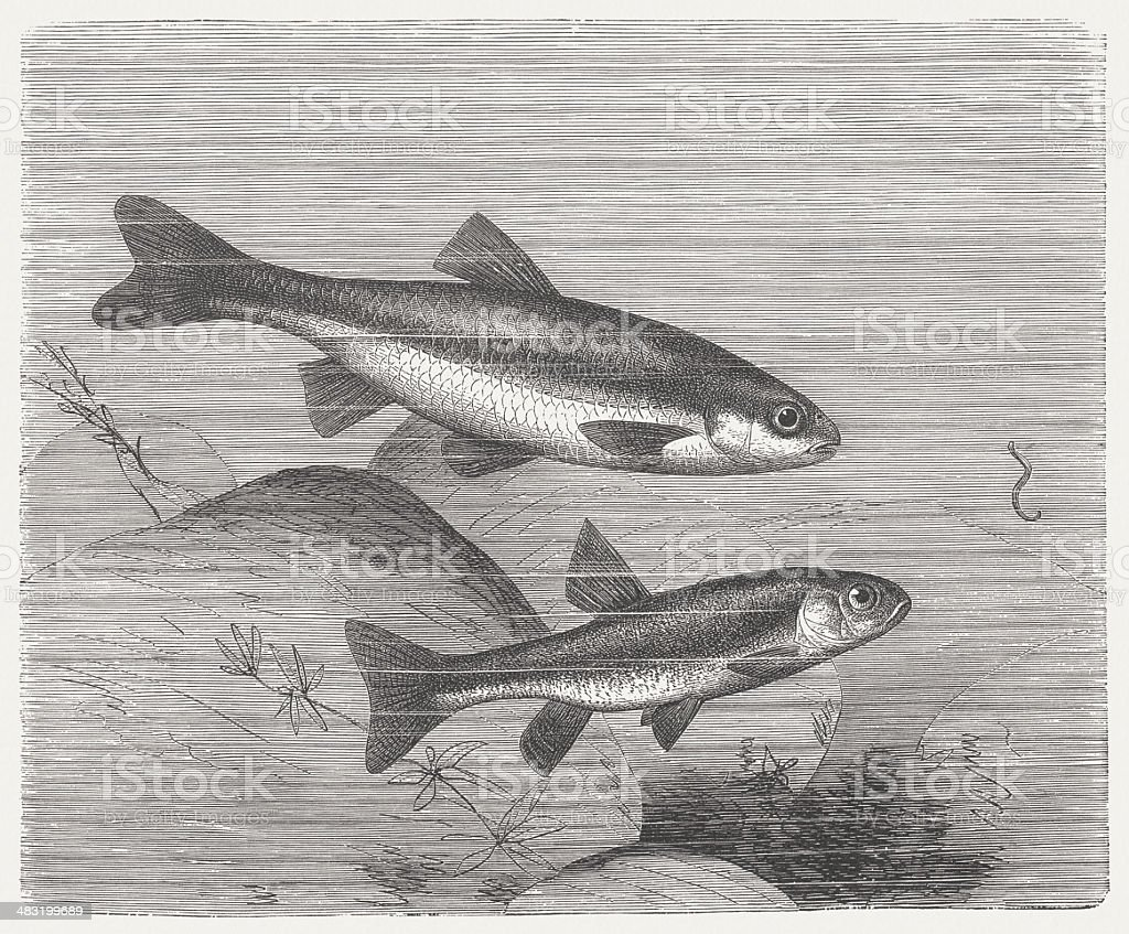 Vairone and Minnow, wood engraving, published in 1884 royalty-free vairone and minnow wood engraving published in 1884 stock vector art & more images of animal