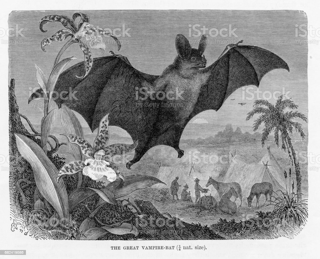 Vampire bat engraving 1894 royalty-free vampire bat engraving 1894 stock vector art & more images of animal