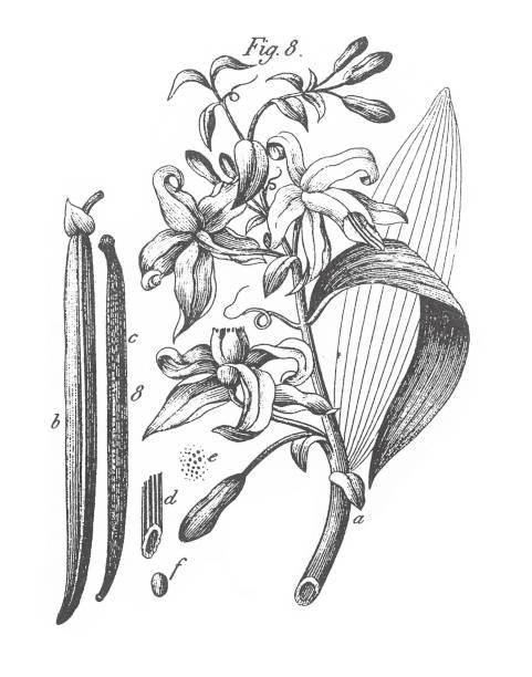 stockillustraties, clipart, cartoons en iconen met vanille aromatica, vanille, aromatische planten gravure van antieke illustratie, gepubliceerd 1851 - vanille