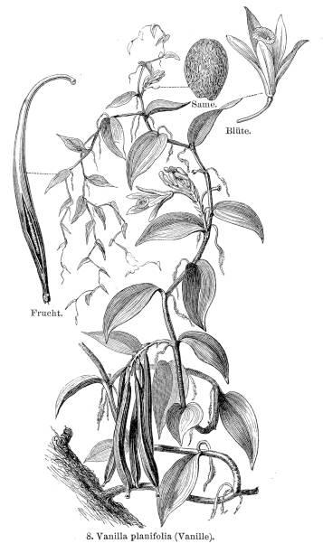 Vanilla engraving 1895 vector art illustration