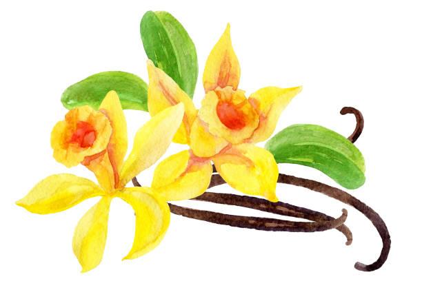 Vanilla flowers and pods vector art illustration