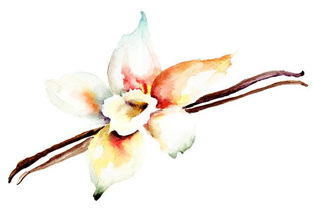 stockillustraties, clipart, cartoons en iconen met vanilla pods in a white flower - vanille