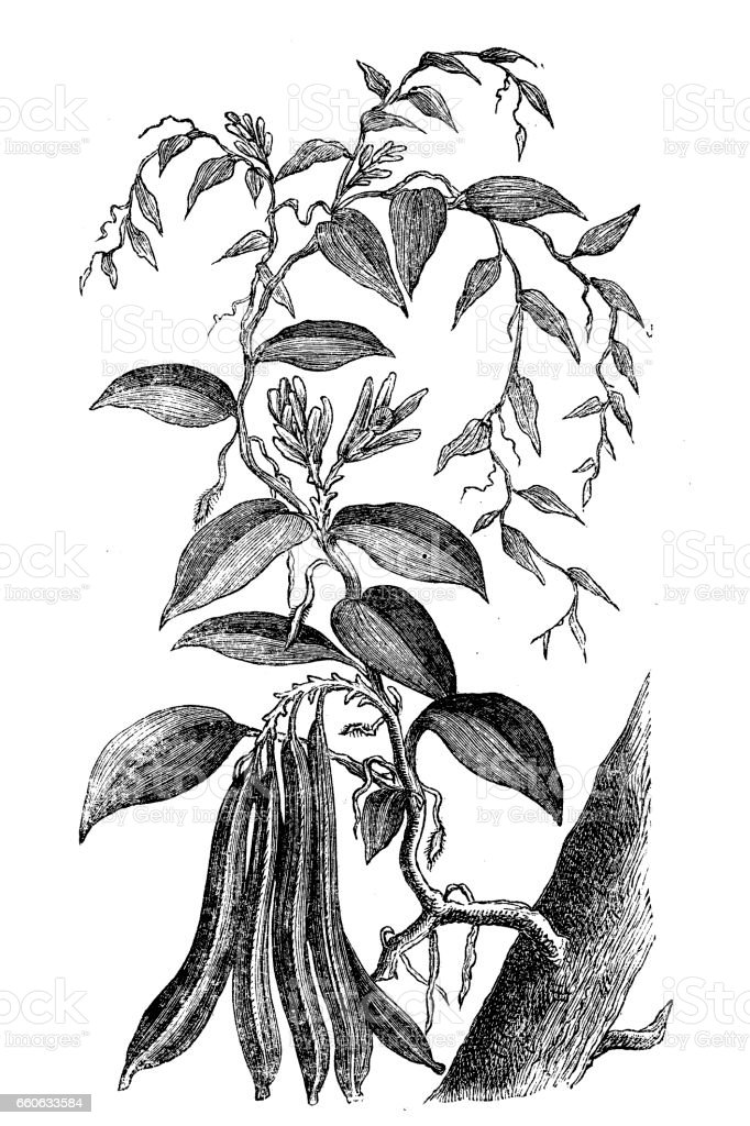 Vanilla ,Vanilla planifolia vector art illustration