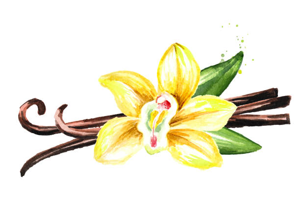 Vanilla yellow flower, pods and leaves. Watercolor hand drawn illustration,  isolated on white background vector art illustration