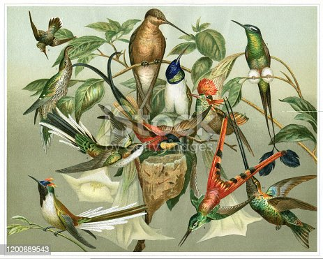 1. Eutoxeres aquila The white-tipped sicklebill is a species of hummingbird in the family Trochilidae.2. Oreotrochilus Chimborazo Ecuadorian hillstar 3. Topaza pella 4. Heliothrix Aurita 5. Lophornis Ornata 6. Heliactinus Cornuutus 7. Steganurus Underwoodi 8. Sparganura Sappho 9. Hypermetra Gigas 10. Docimastas Ensifer 11. Mellisuga Minima Original edition from my own archives Source :