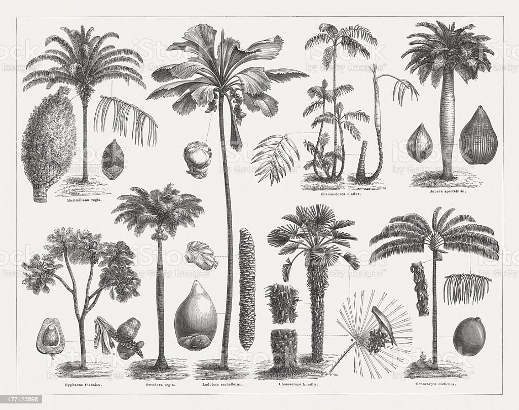 Varios palms, wood engravings, published in 1877 vector art illustration