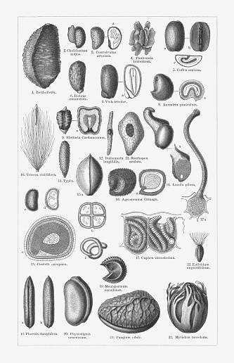 Various forms of plant seeds, wood engravings, published in 1897