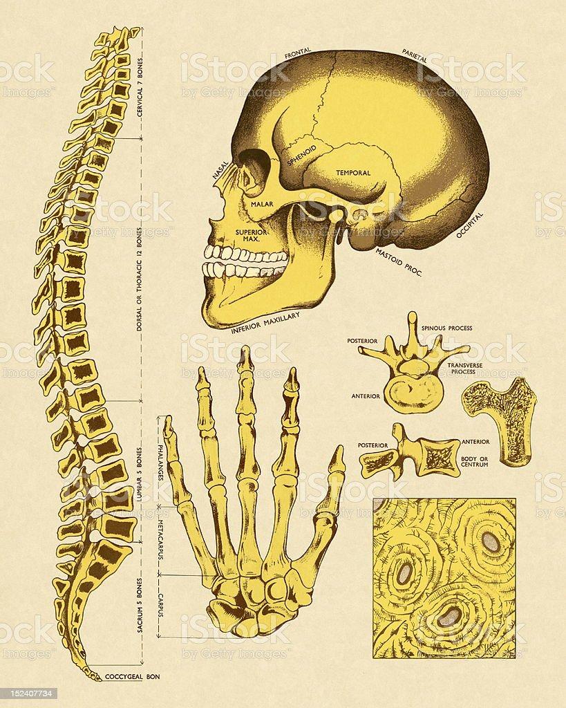 Various Human Bones royalty-free stock vector art