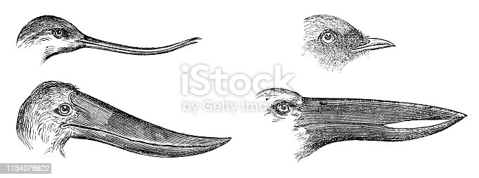 Different types of bird beaks from Magasin Pittoresque. Vintage etching circa mid 19th century. Avocet [top left], Black Restart [top right], Jabiru [bottom left], African Openbill [bottom right].