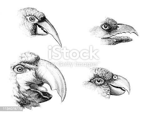 Different types of bird beaks from Magasin Pittoresque. Vintage etching circa mid 19th century. Slender-billed Parakeet[top left], Double-toothed Barbet [top right], Macaw [bottom left], Parakeet [bottom right].