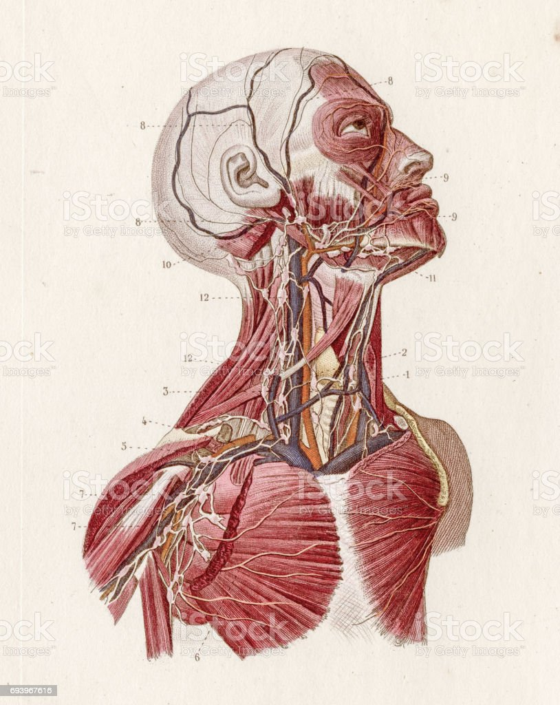 Vascular System Anatomy Engraving 1886 Stock Vector Art & More ...