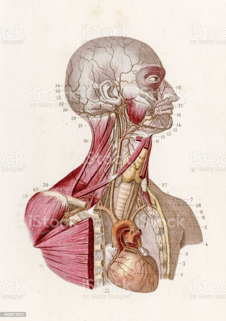 Vascular system anatomy engraving 1886 vector art illustration
