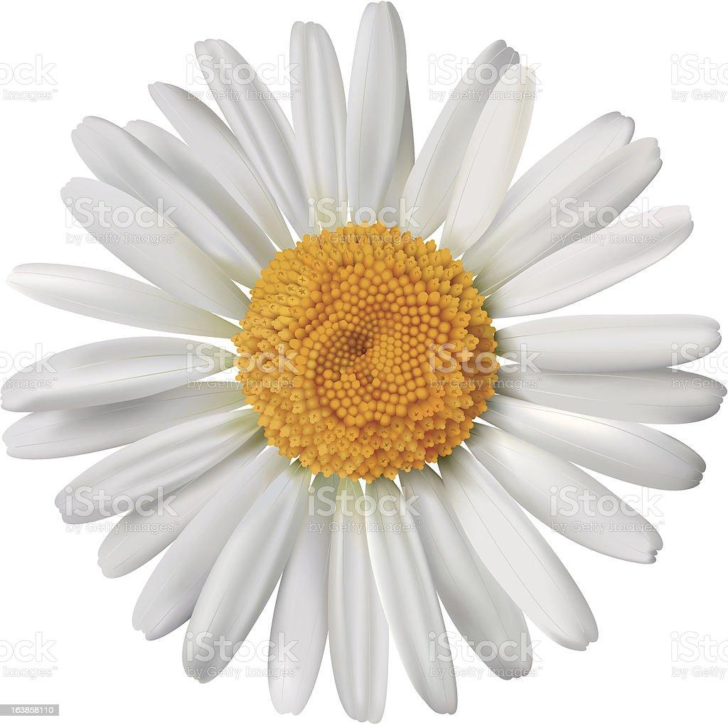 Vector daisy vector art illustration