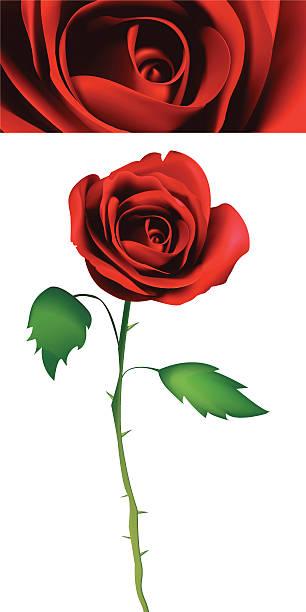 一輪の薔薇 イラスト素材 Istock