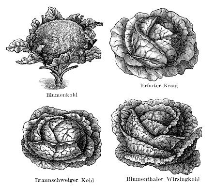 Vegetable cauliflower savoy cabbage illustration 1897