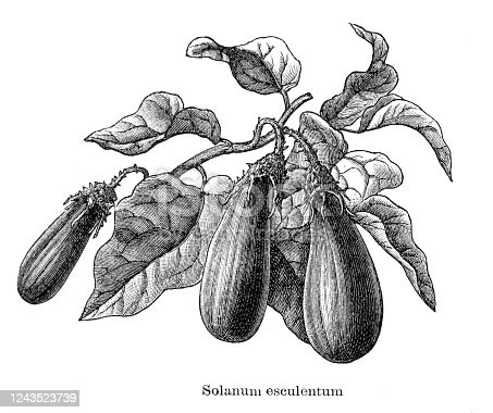 Eggplant, aubergine or brinjal is a plant species in the nightshade family Solanaceae. Original edition from my own archives Source :