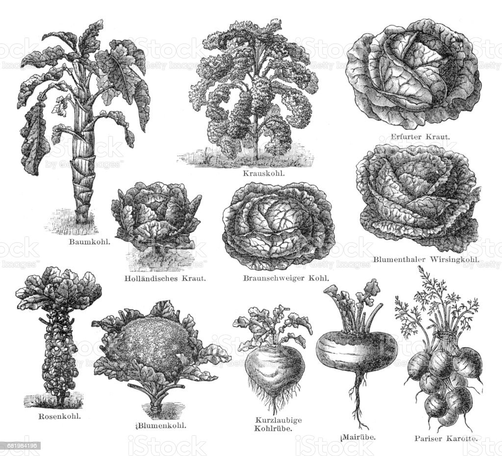 Vegetables engraving 1895 vector art illustration