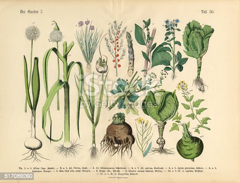 Very Rare, Beautifully Illustrated Antique Engraved Victorian Botanical Illustration of Vegetables, Fruit and Berries of the Garden: Plate 50, from The Book of Practical Botany in Word and Image (Lehrbuch der praktischen Pflanzenkunde in Wort und Bild), Published in 1886. Copyright has expired on this artwork. Digitally restored.