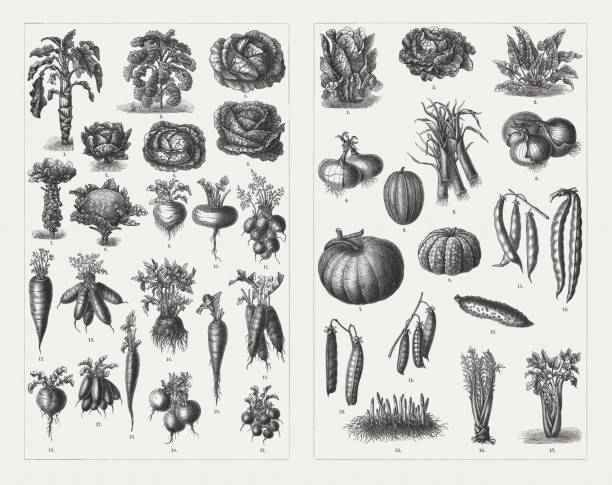 vegetables, wood engravings, published in 1897 - root vegetable stock illustrations