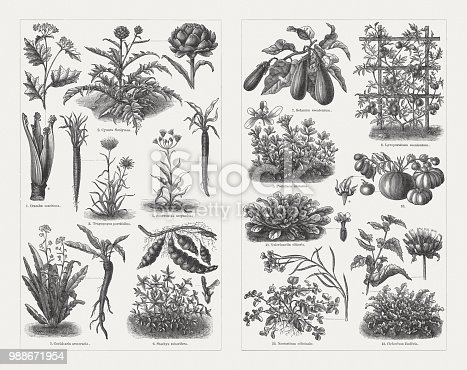 Vegetables, left side: 1) Sea kale (Crambe maritima) and bleached sprout (a); 2) Artichoke (Cynara cardunculus, or Cynara scolymus) with blossom head (right); 3) Purple salsify (Tragopogon porrifolius) with root (left); 4) Black salsify (Scorzonera hispanica) with root (right); 5) Horseradish (Armoracia rusticana, or Cochlearia armoracia) with root (right); 6) Crosne (Stachys affinis, or Stachys tuberifera) with tubers (crosnes, top) and blossom; 7) Eggplant (Solanum melongena, or Solanum esculentum); 8) Tomatoes (Solanum lycopersicum, or Lycopersicum esculentum); 9) Purslane (Portulaca oleracea) and blossom (a); 10) Different tomatoes fruits with blossom (a); 11) Corn salad (Valerianella locusta, or Valerianella olitoria) with blossom (right); 12) Watercress (Nasturtium officinale) with blossom and fruits (right); 13) Endive (Cichorium endivia) with flowering branch (a) and blossom head. Wood engravings, published in 1897.