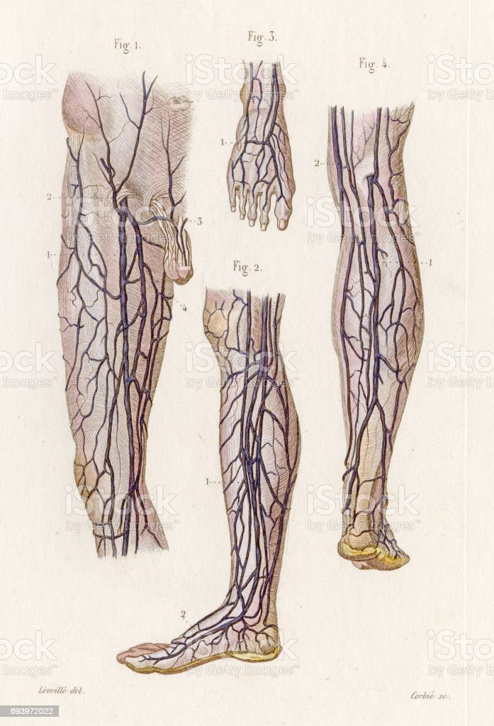 Veins Legs Anatomy Engraving 1886 Stock Vector Art More Images Of
