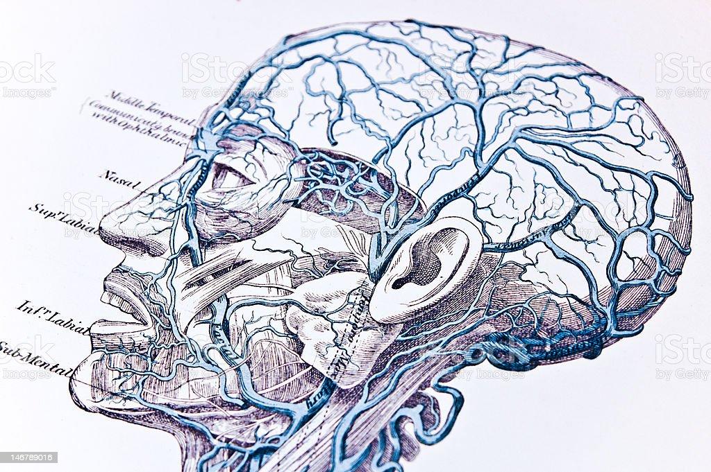 Adern Der Kopf Stock Vektor Art und mehr Bilder von Anatomie ...