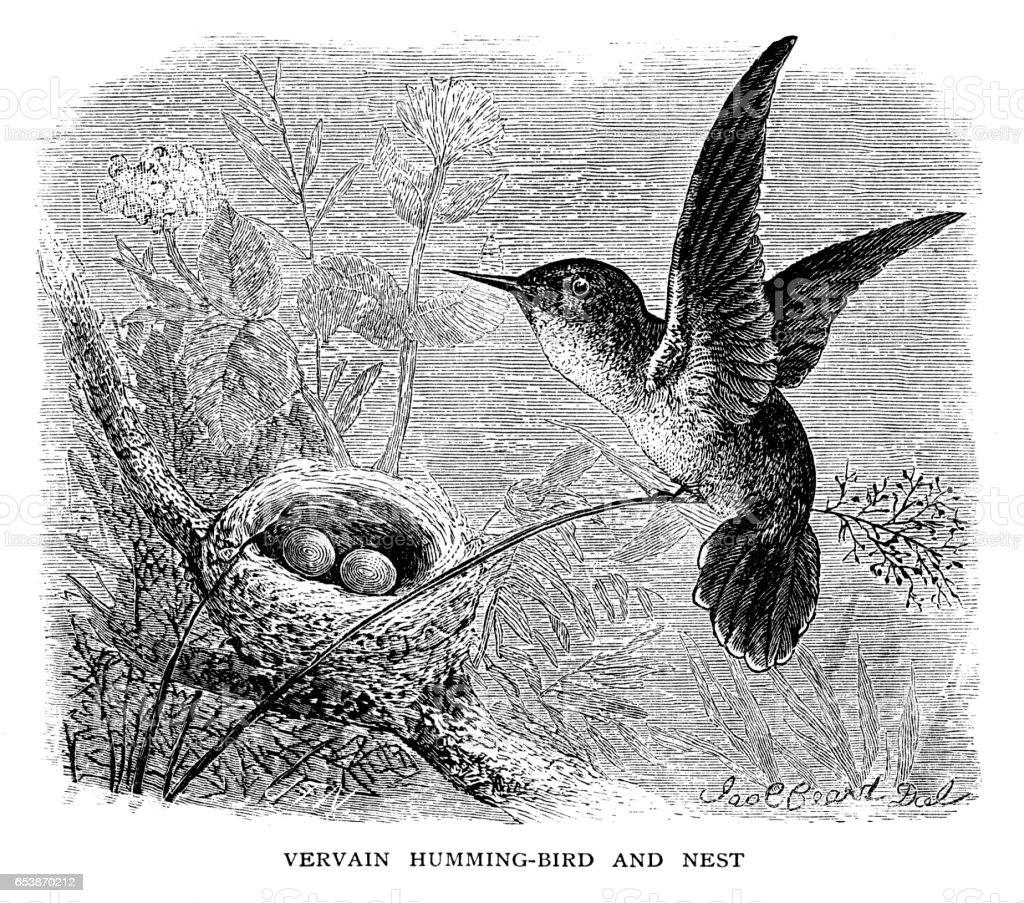 Vervain hummingbird and nest vector art illustration