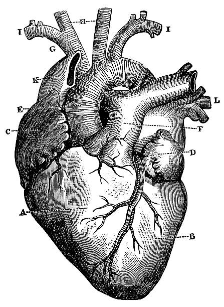 XXXL Very Detailed Human Heart Engraving From 1872 Featuring A Human Heart. biomedical illustration stock illustrations