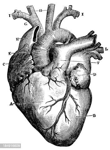 Xxxl Very Detailed Human Heart Stock Vector Art & More ...