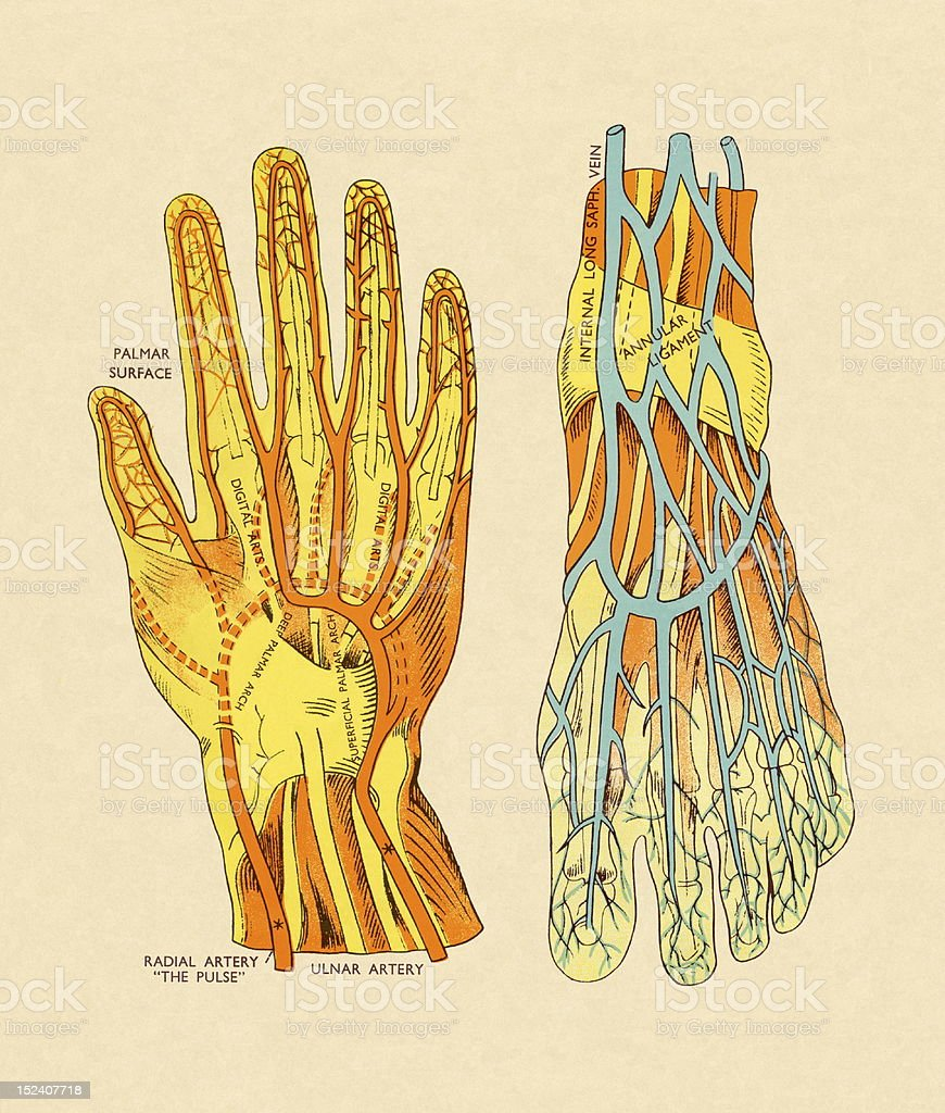 Vessels and Arteries of Hand and Foot royalty-free stock vector art