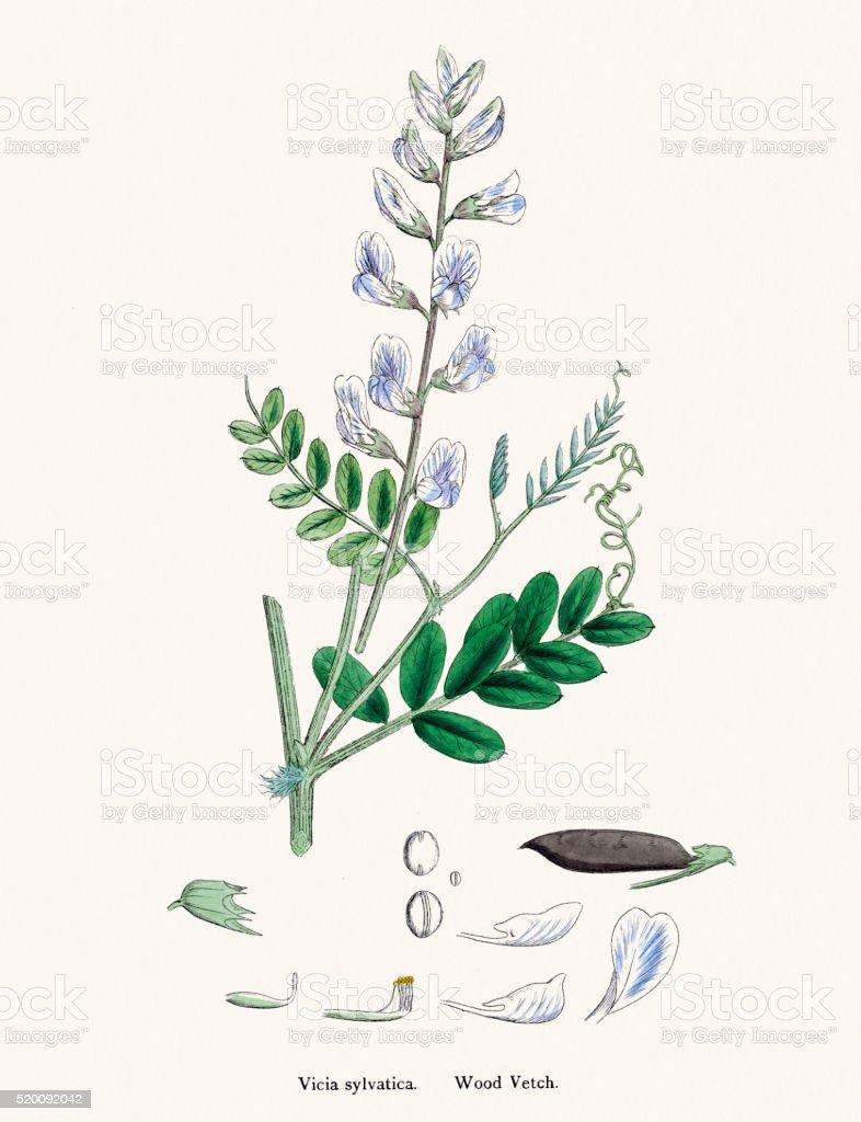 Vetch plant 19th century illustration vector art illustration