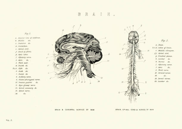 Victorian anatomical diagram of the brain and spinal cord, nerves Vintage engraving of Victorian anatomical diagram of the brain, spinal cord and nerves 19th Century medical diagram stock illustrations