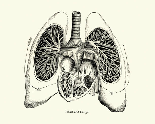 Victorian anatomical drawing of human heart and lungs 19th Century Vintage engraving of a Victorian anatomical drawing of human heart and lungs 19th Century medical diagram stock illustrations