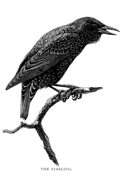 Victorian black and white engraving of a starling sat on a branch; 19th century ornithology; English Illustrated 1892 vector art illustration