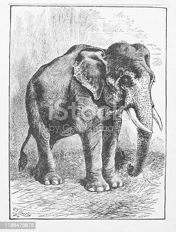 Victorian Black and White Illustration, circa 1884.  Vintage image of a Burmese Elephant